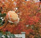 "Winston Oliver of Fort Wayne took this photo of a rose in the backyard at Jacob Creek Run addition. It shows the turning leaves of sugar maples behind the fence. ""The last rose of summer welcomes autumn,"" he said."