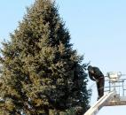 Brent Campbell, of Harold McCombs & Sons Inc., was busy removing lights from the large Christmas tree Jan. 7 outside of Shine & Hardin, LLP on the corner of South Broadway and Beaver Avenue, a sign the holidays are over.