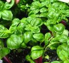 If you have basil plants that need to be picked and you can't use them right away, just place the basil in water and it will root. When you pick one leaf of basil, two grow back. This herb needs to be picked frequently for best results.