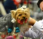 Zach Newton works on the silky coat of  Jordan,3, a Yorkshire terrier Wednesday at the first day of the Old Fort Cluster Dog Shows.