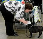 Nichole Denny, puts some finishing touches on Nikki, a French Bulldog, as they await their turn in the ring Wednesday morning at the Old Fort Cluster Dog Shows.