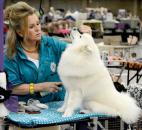 Aston, 10 months, is primped for the show ring by her owner, breeder and handler, Kathleen Strunk. Strunk, a retired middle school teacher from Chicago, said she loves having the time to show her dogs full time now.