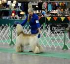 Handlers stack their Afghans in the ring Wednesday morning as they vie for the judges eye during the first day of the Old Fort Cluster Dog Shows at the Allen County Expo Center