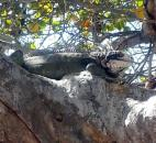 Don't be alarmed if you look up in a tree and see an iguana or two. They most likely will leave you alone. (Photo by Cindy Larson of The News-Sentinel)