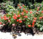 Cinco de Mayo roses grow in the Mary Duke Biddle Rose Garden of the Sarah P. Duke Gardens in Durham, N.C.