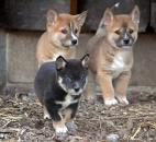 Seven dingo puppies were born at the Fort Wayne Children's Zoo on Jan 30. The litter was the first born at the local zoo since 1988. The three shown here were 5 weeks old when the picture was taken. Photo by Sarah Janssen