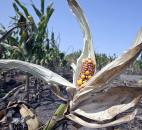 Drought-damaged corn is seen in a field near Nickerson, Neb., in August. The crops and farmers of the nation's heartland were devastated by the nation's worst drought in decades. Photo by The Associated Press
