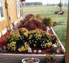"Phyllis Peters entered this photo, saying ""These beautiful fall mums were planted in front of my home  many years ago in Spencerville. Every year, they grow fuller, and you can see their bright fall colors (especially the yellow ones) from the road in front of my home. I love to sit on my porch in the cool of the day and admire their beauty."""